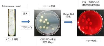 図1 T. reesei 変異処理によるセルラーゼ産生株の獲得 ・カルボキシメチルセルロース(CMC)を含むポテトデキシトロース寒天(PDA)培地で培養 ・CMCを分解することで、染色されずハローが形成される